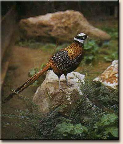 Персональный сайт - Королевский фазан  Фазан Самец