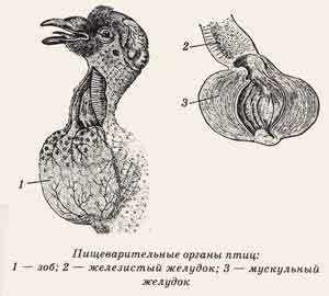 Пищеварительные органы птицы
