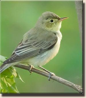 Перья крыльев окаймлены светлой, почти белой полосой.  Птица очень.
