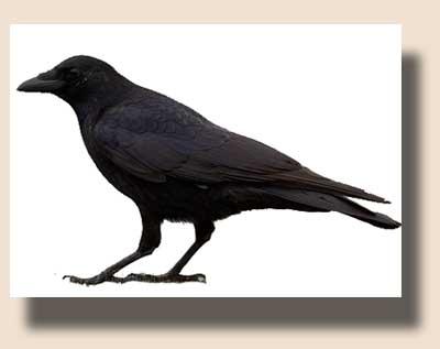 ворона картинки: