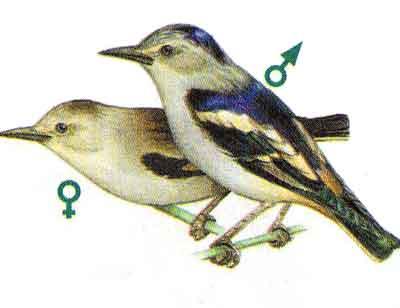 скворец фото самец и самка