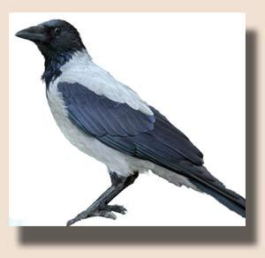 фото ворона серая